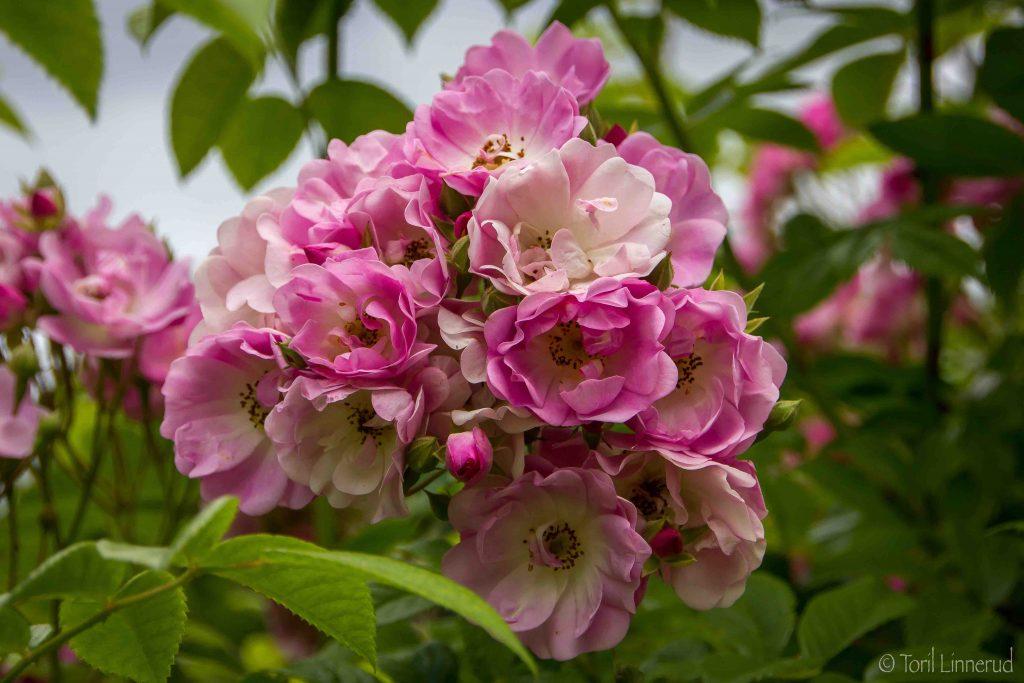 Apple Blossom_160712_6661-kopi