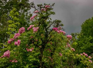 Apple Blossom_160712_6680-kopi