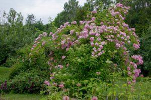 Apple Blossom_170724_0868