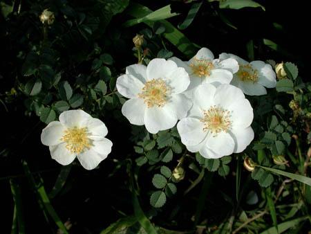 Verdensarven av skotske roser av Peter D. A. Boyd