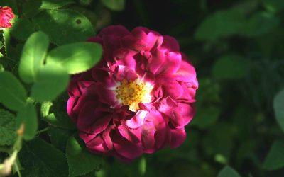 En rose jeg liker: 'Tuscany'