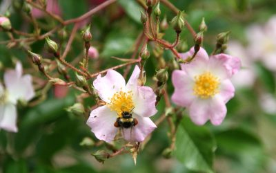Pollinatorvennlige roser