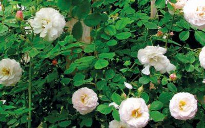 Minner om Gerd og rosene hennes