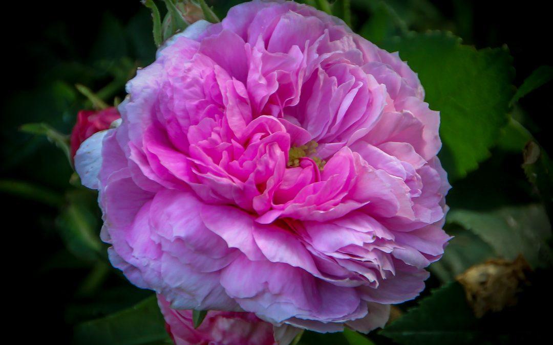 Har du lite erfaring med roser eller synes du roser er vanskelige å få til? Da kan en lettstelt buskrose være et godt valg!