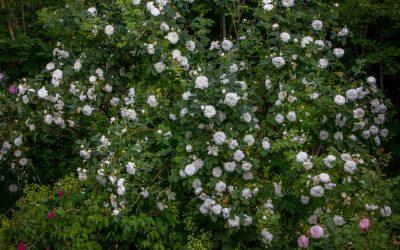 Albarosene – herdige, lettstelte og fantastisk duftende rosebusker som gjerne står i skyggen!
