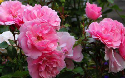 Moderne, remonterende buskroser – i blomst både sommer og høst