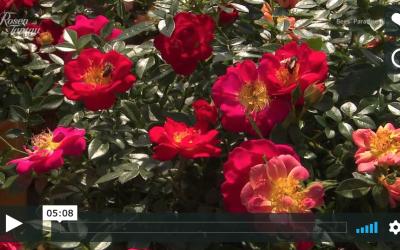 Nytt fra Tantau  – Bees' Paradise Roses