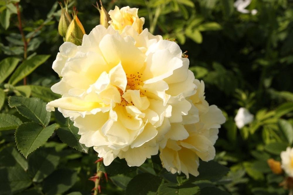 Vakker rose med flere navn🌹😃