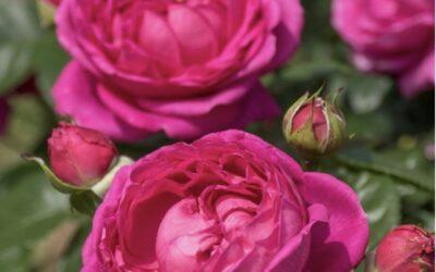 Nyt en hyggelig rose hilsen fra Rosen Tantau🌹😍