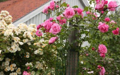 'FRAGEZEICHEN' – «Rosen som klamrer seg til livet»🌹 av Dag Lyngar.
