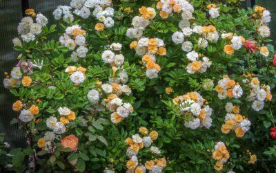 Årets Rose 2022🌹