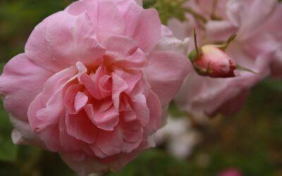 Rosen 'Liga' – ei rose i en annen liga🤩🌹