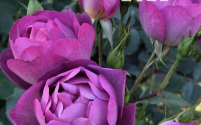 Australian Rose Annual 2021