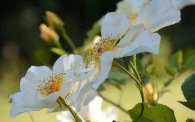 'Golden Wings' i hagen, bare fordi insektene elsker den.